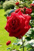 Ein Rosengruß aus Neuss