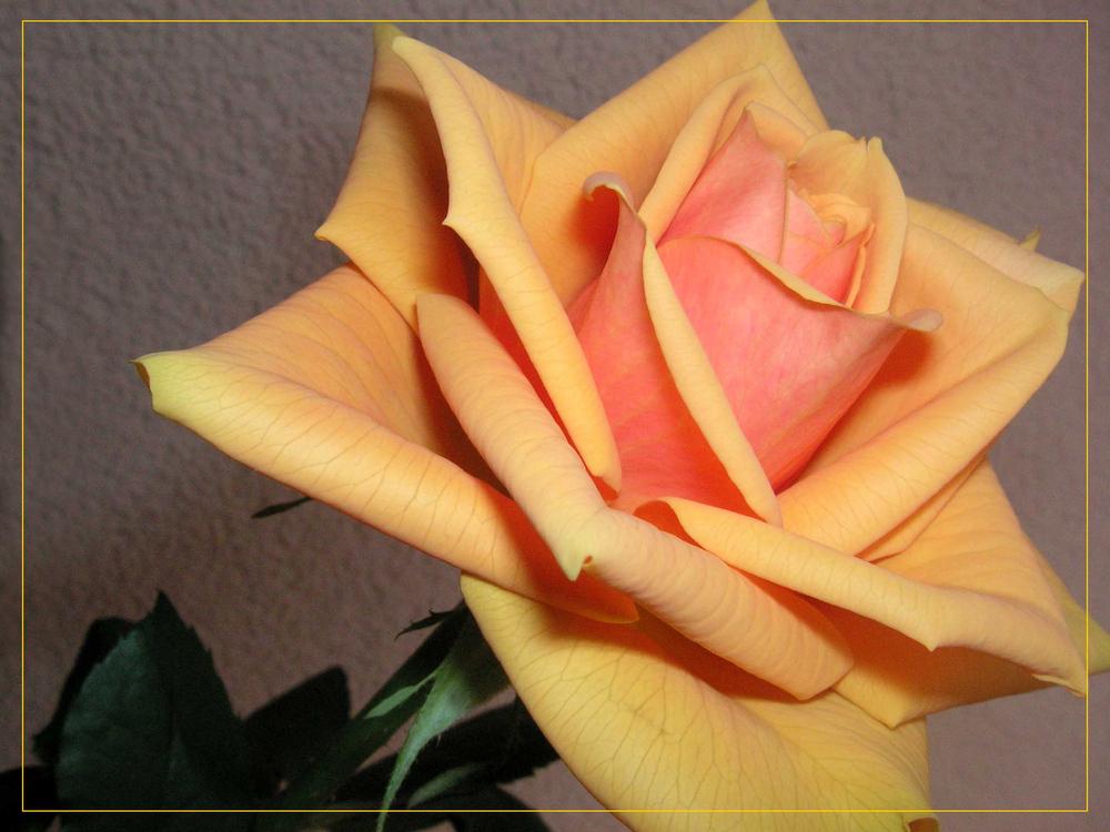 Ein Rosengruss...