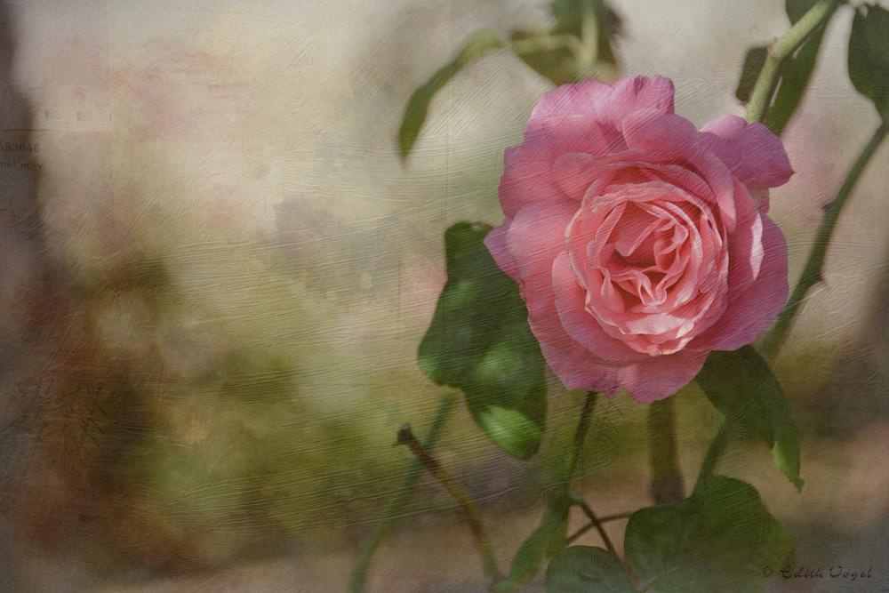 ein Rosengruß...