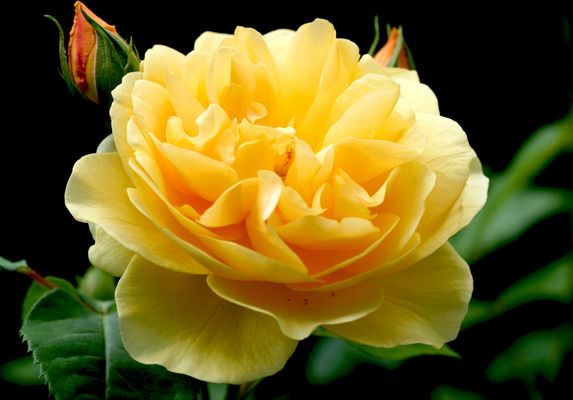 Ein Rosengruss für Richard