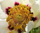 Ein Rosenkäfer wühlte sich durch die Pollen -
