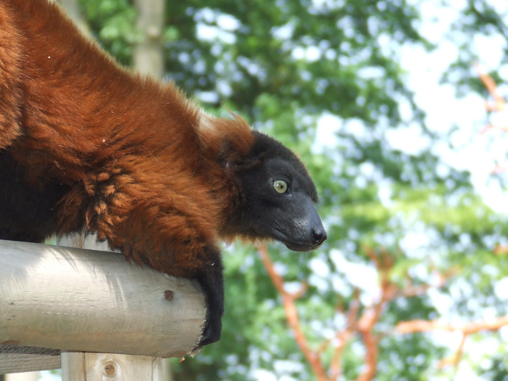 Ein Roter Varis / Lemure