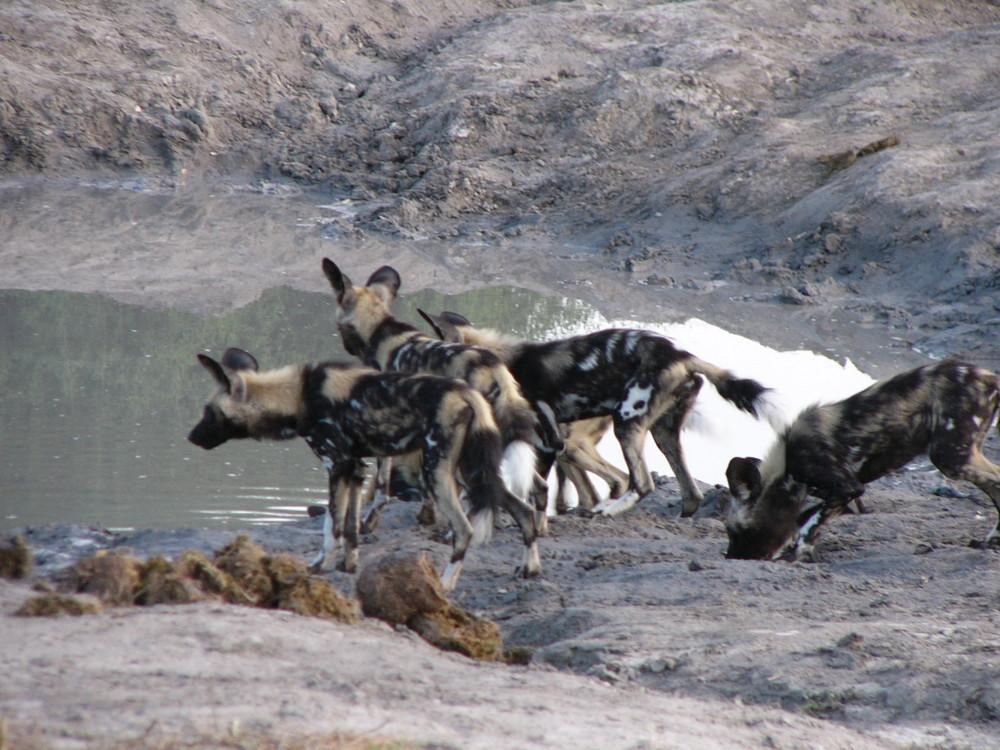 Ein Rudel Wildhunde in Savuti.