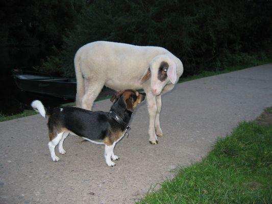 Ein Schäferhund