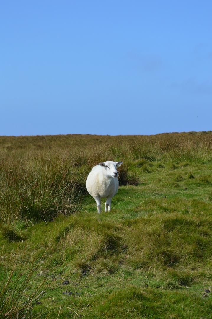 Ein Schaf aur Irlands grünen Wiesen