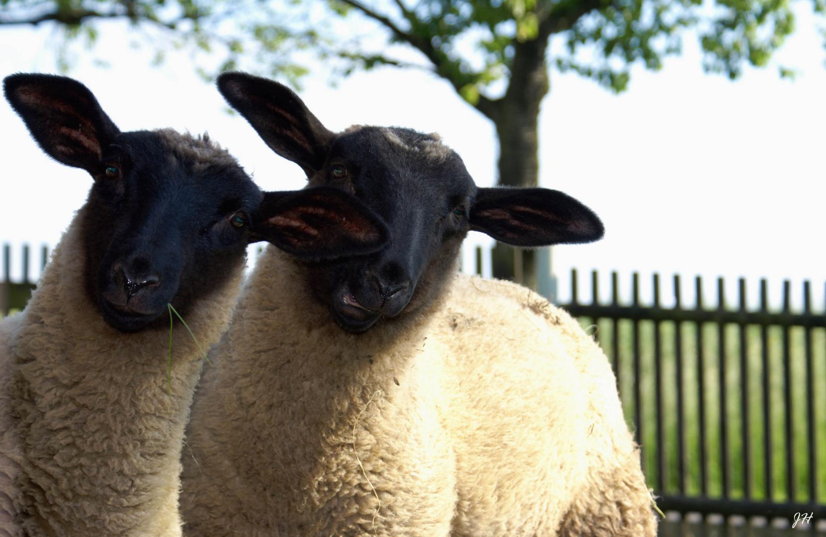 Ein Schaf kommt nie allein