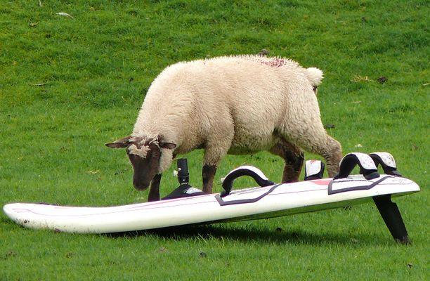 Ein Schaf mit Surfbrett