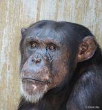 Ein Schimpanse aus........