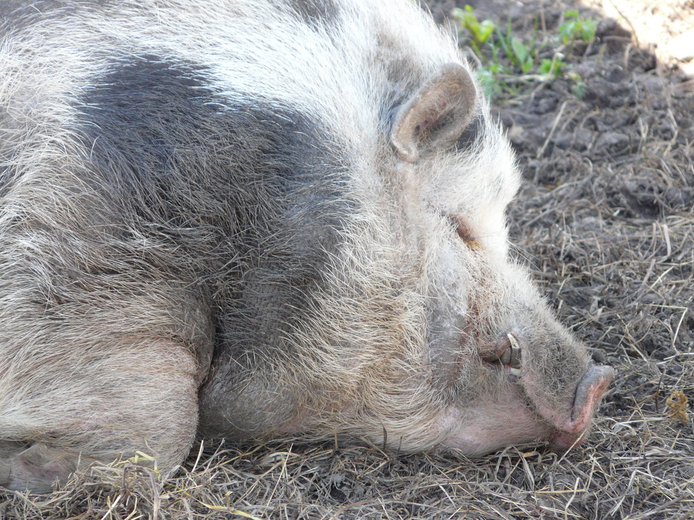 Ein schlafendes Schwein