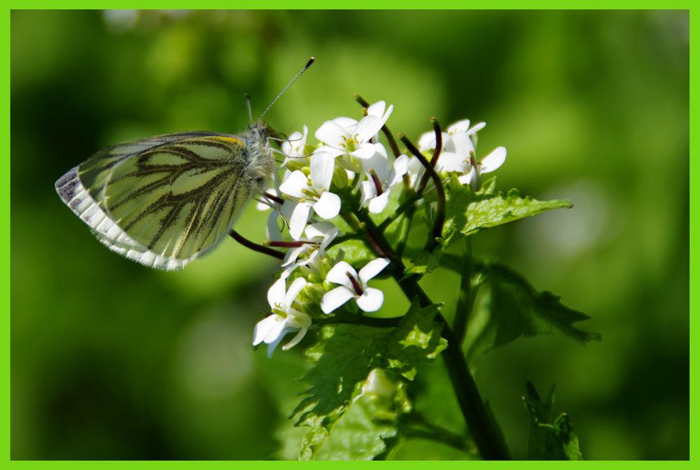 Ein Schmetterling den jeder kennt.