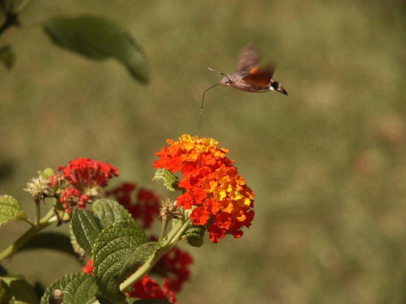 ein schmetterling - kein kolibri