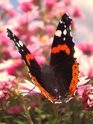 Ein Schmetterling mein Herz
