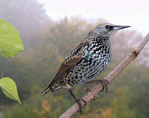Ein schmucker Vogel, Perlstar