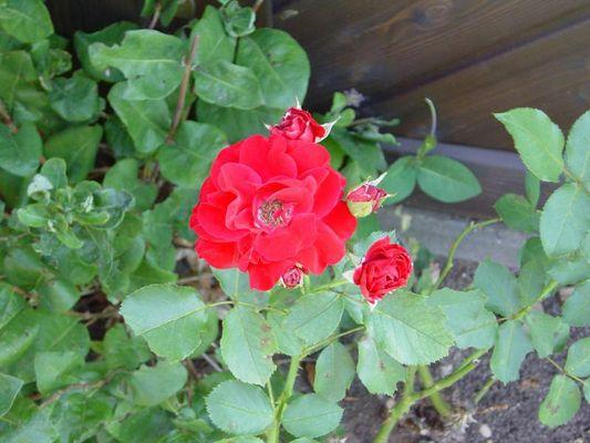 Ein schöne Rose