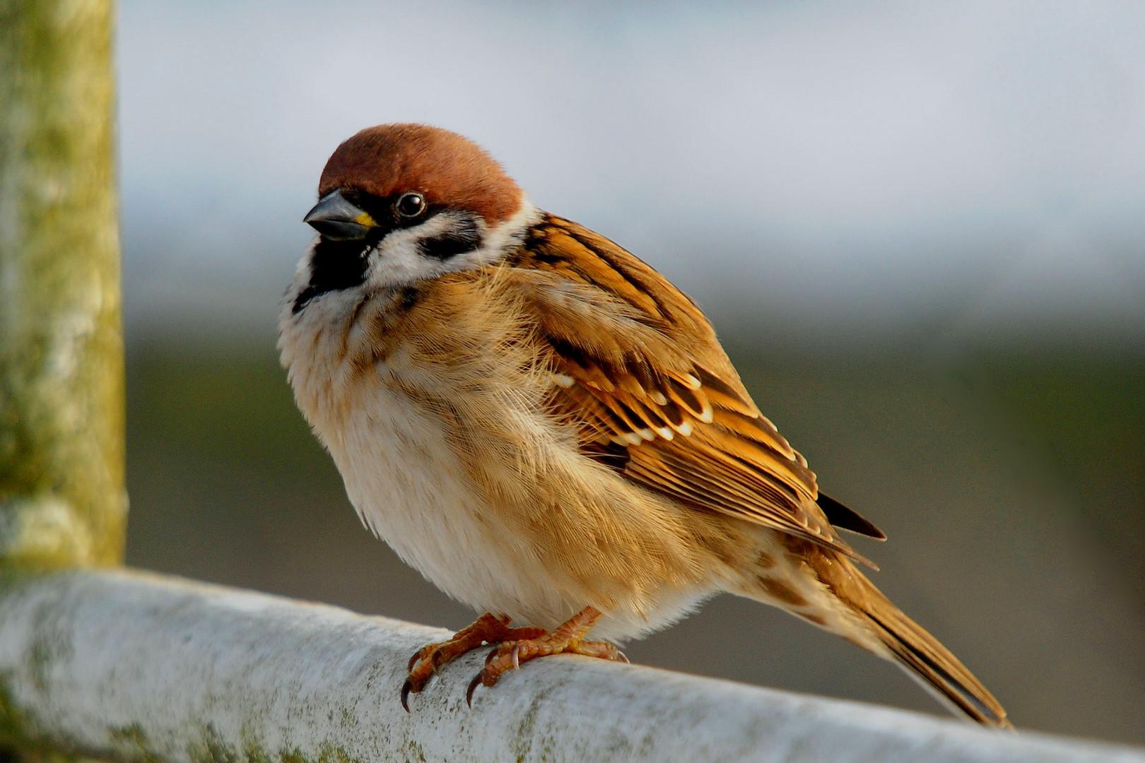 Ein schöner Vogel, der Feldsperling!