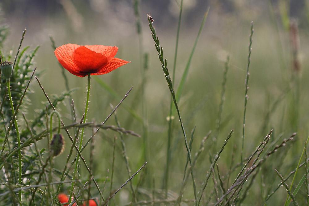 Ein schönes Bild mit Mohn, Distel, viel Gras und einer kleinen Wanze