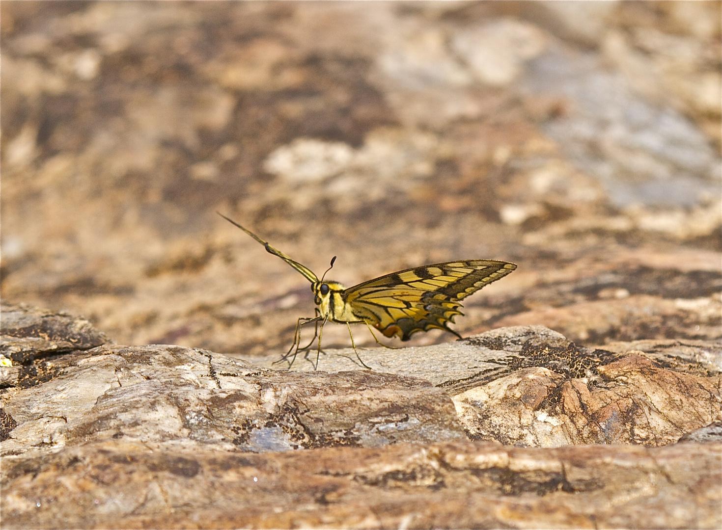 Ein Schwalbenschwanz in Andalusien