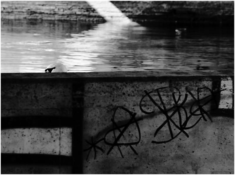 ein schwan
