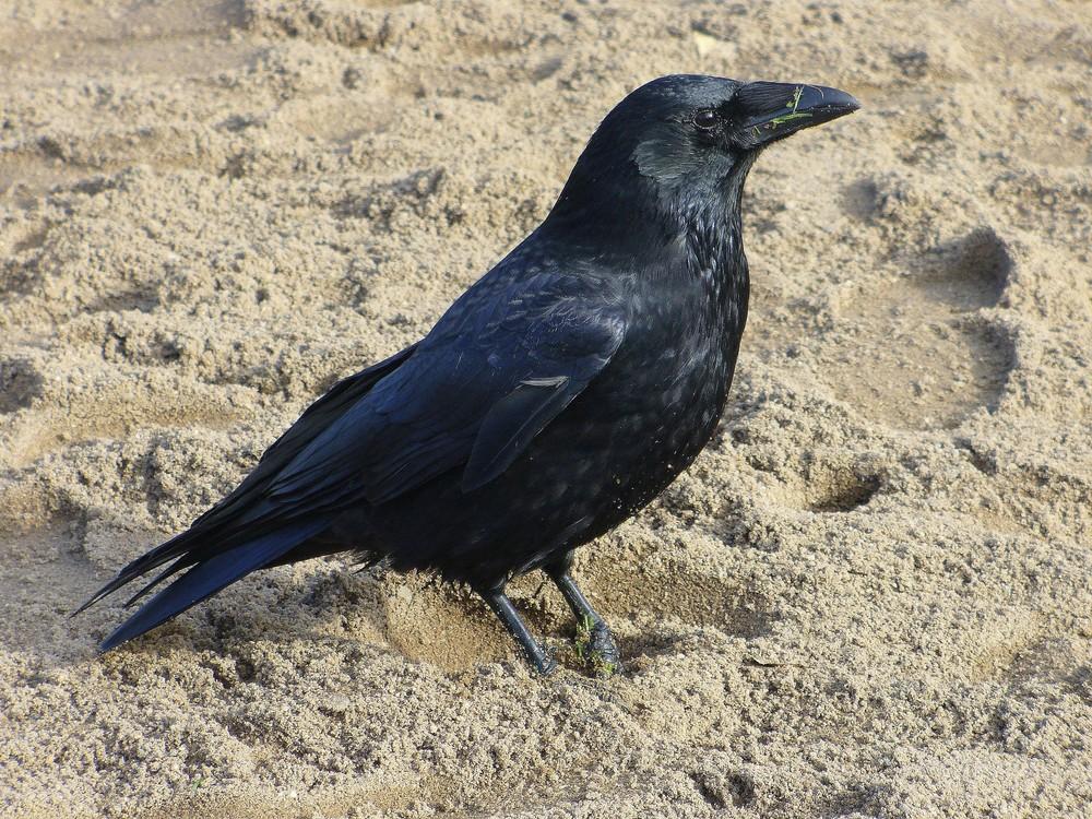 ein schwarzer vogel im rheinpark foto bild tiere wildlife wild lebende v gel bilder auf. Black Bedroom Furniture Sets. Home Design Ideas