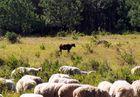 ein schwarzes Schaf gibt es in jeder Familie
