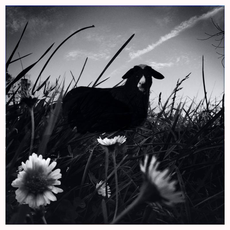 ein schwarzes Schaf ( wie du und ich )