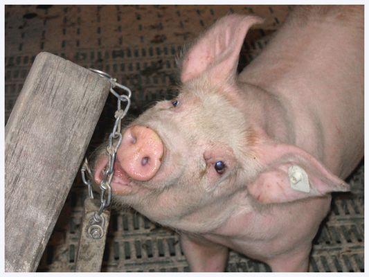 ein schwein ein schwein