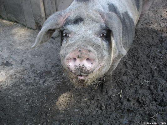 Ein Schwein guckt ins Leben