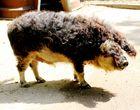 Ein Schwein namens Wolli
