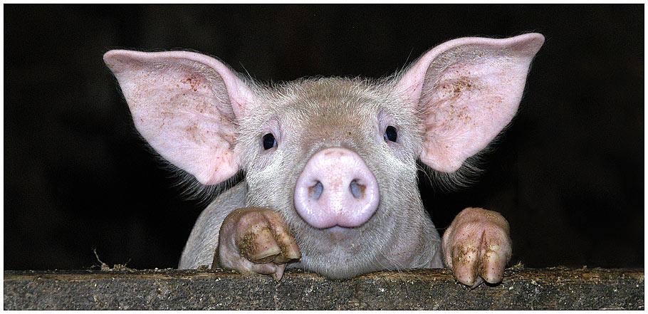 """ein """"schweinisches"""" Portrait"""