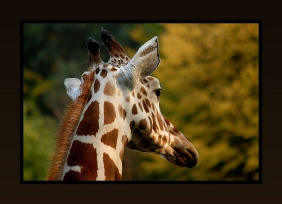 Ein schwer nachdenklicher Giraffe