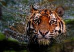 """""""Ein Schwimm - Tiger"""""""