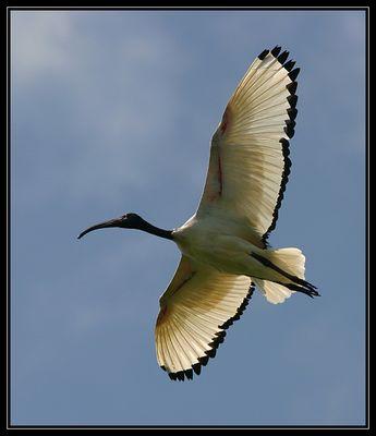 Ein Segler mit wunderschönen Flügeln