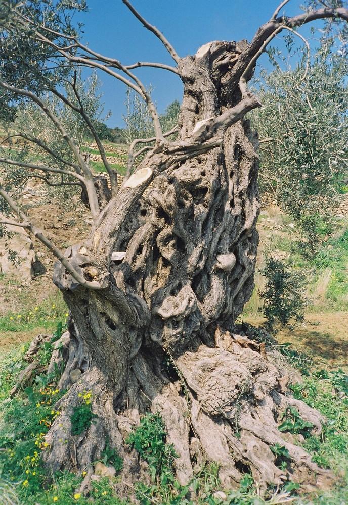 ein sehr alter Olivenbaum auf Paros