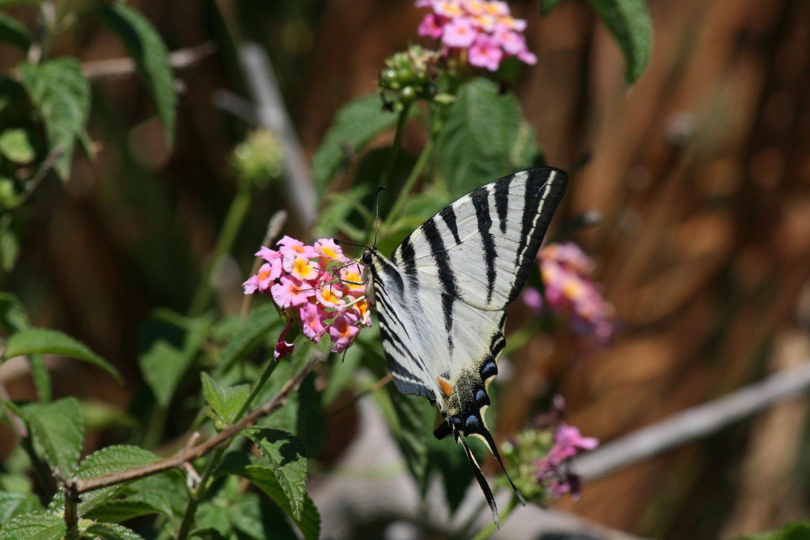 Ein sehr schöner Schmetterling.