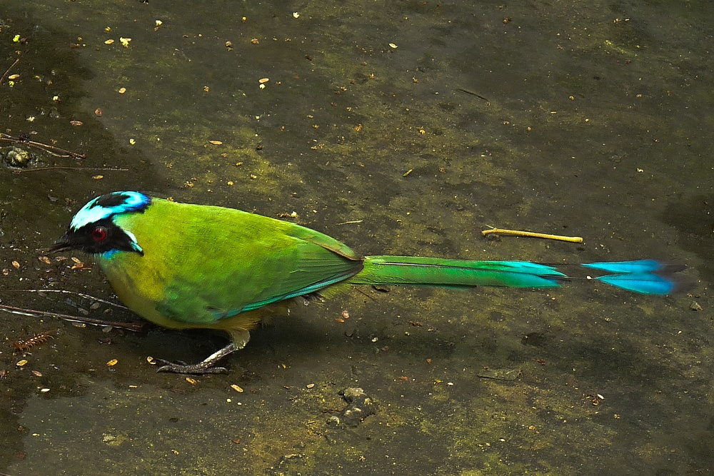 ein seltener Vogel, der Blauscheitel-mot mot