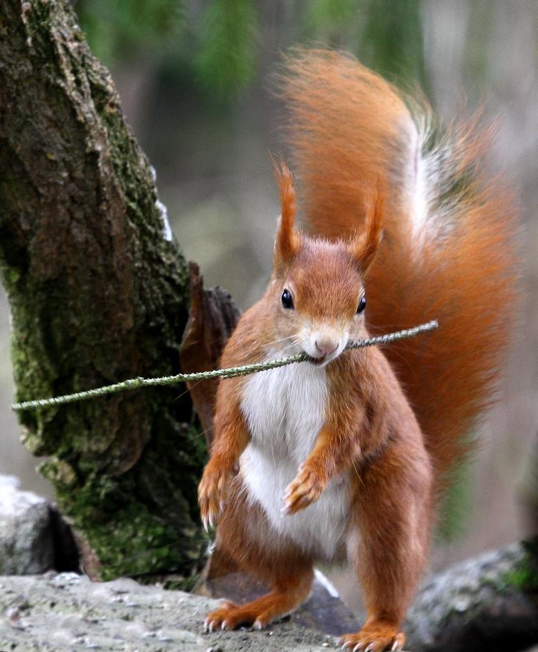 ein seltenes Apportierhörnchen