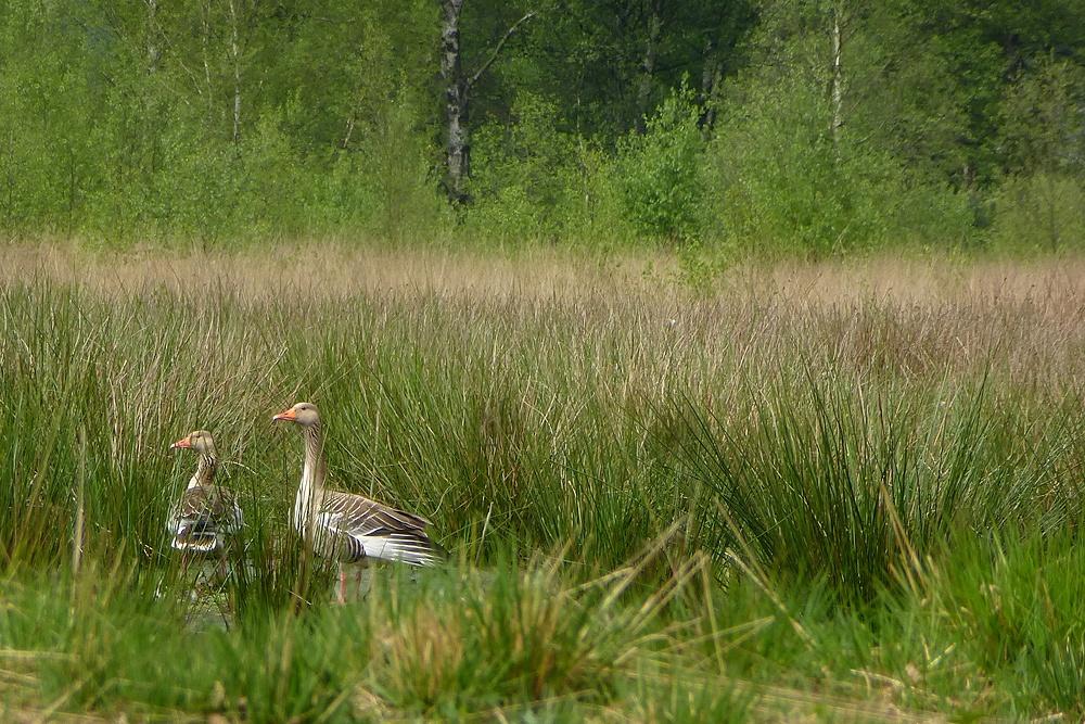 Ein seltenes Paar Graugänse im Moor