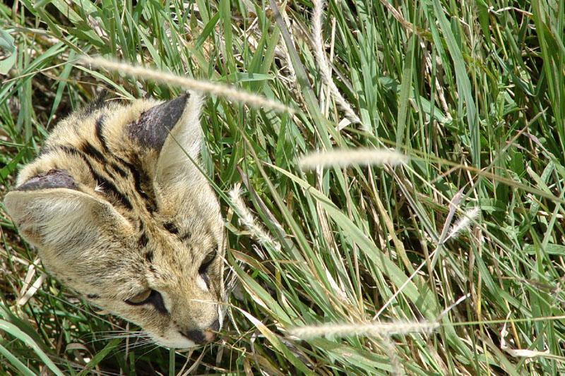 Ein Serval bei der Jagd in der Serengeti (Tansania/Juni 2003)