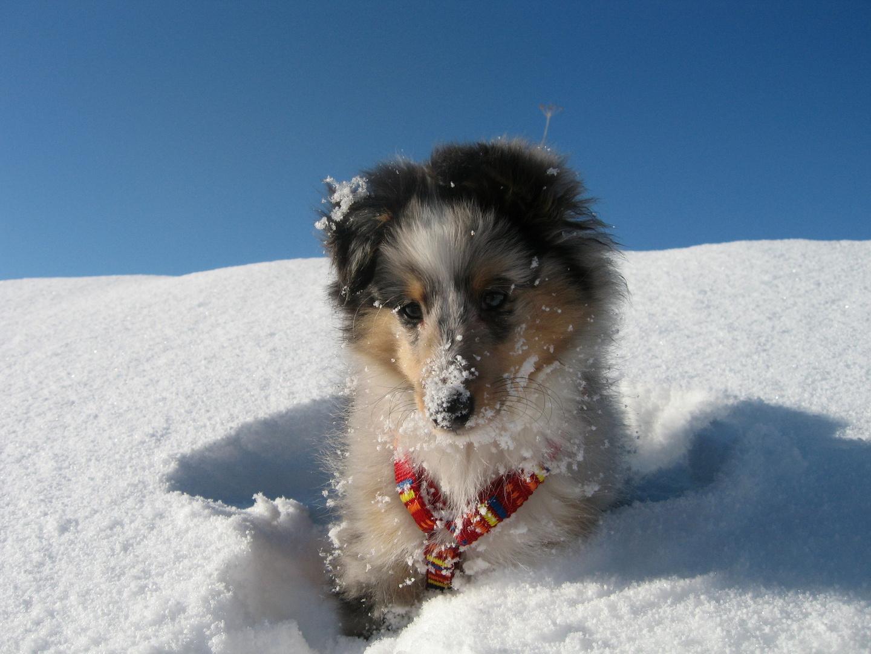 Ein Sheltiewelpe im Schnee