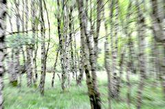 Ein Sommertag im Kapartenbirkenwald