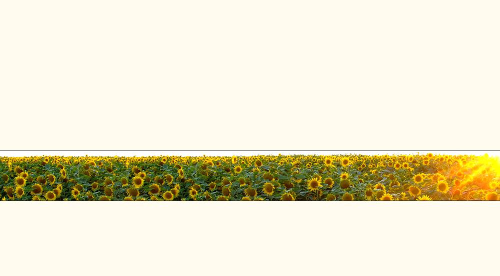 Ein Sonnenblumen-Strip....