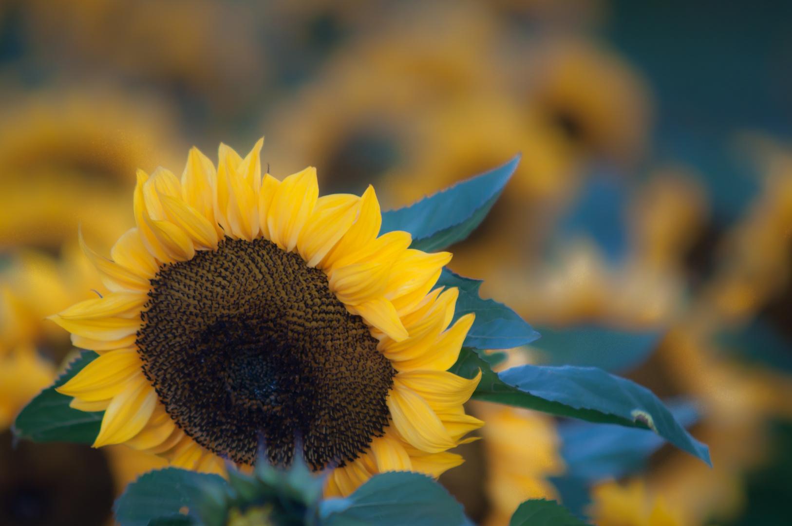 Ein Sonnenblumenfeld in Oktober