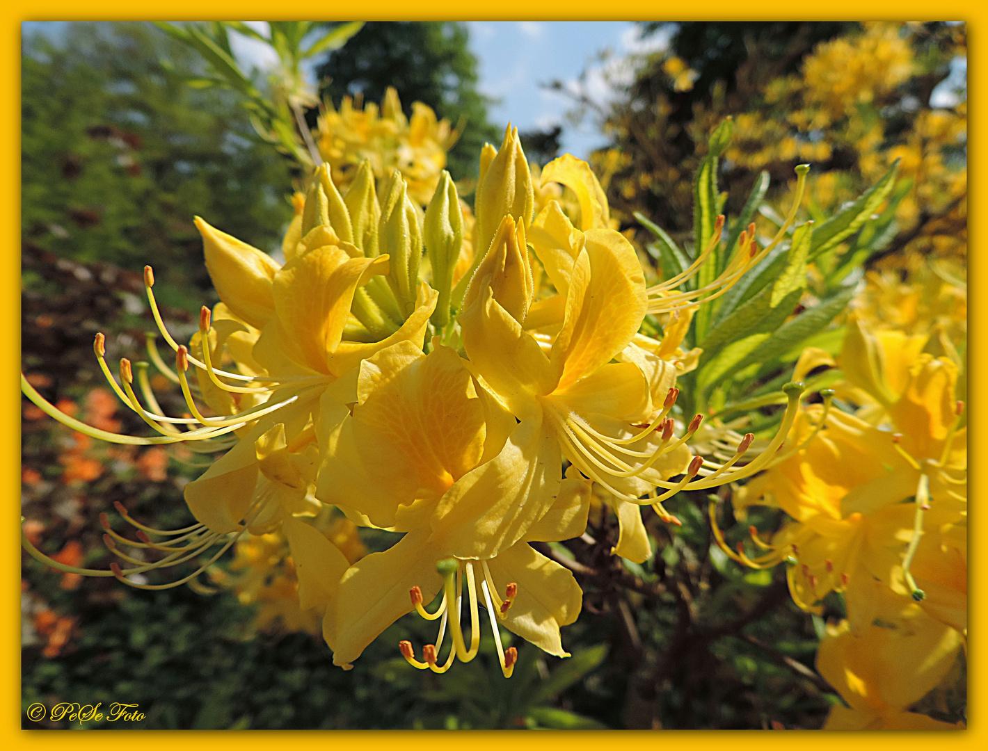 Ein Sonntagsgruß in gelb.....