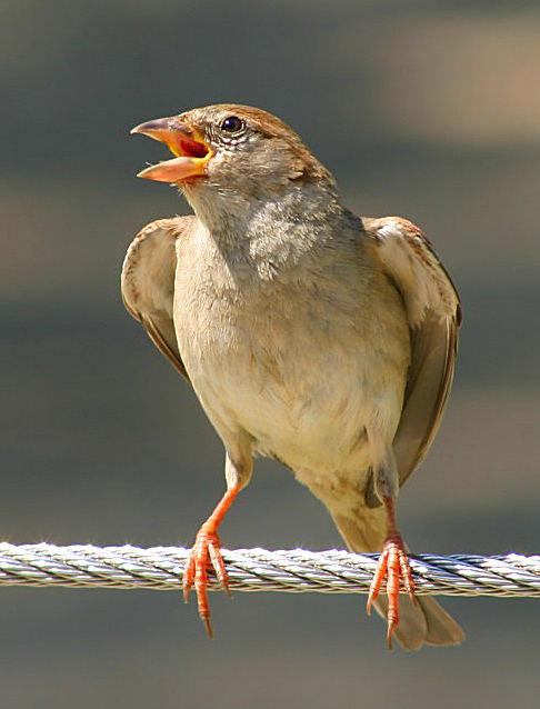 Ein Sperling ist doch ein Singvogel ??