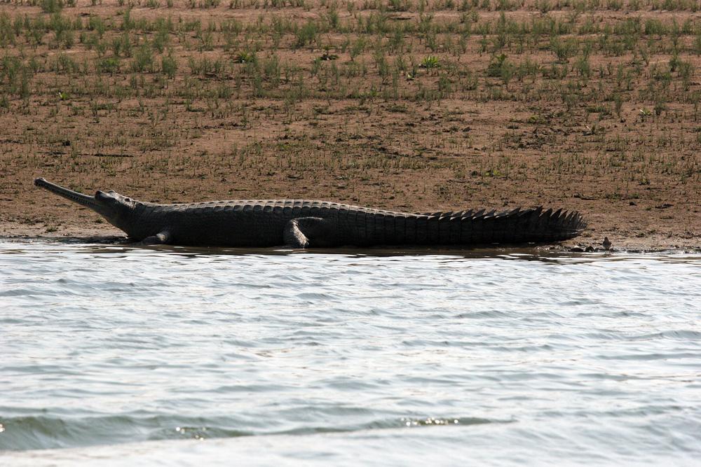 Ein spitzmaul Krokodil