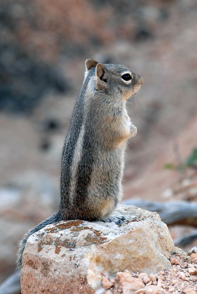 Ein Squirrel
