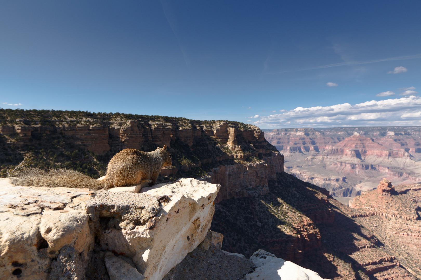 Ein Squirrel genießt den Ausblick auf den Grand Canyon