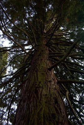 """""""Ein Stammbaum"""" auf der Insel Mainau"""