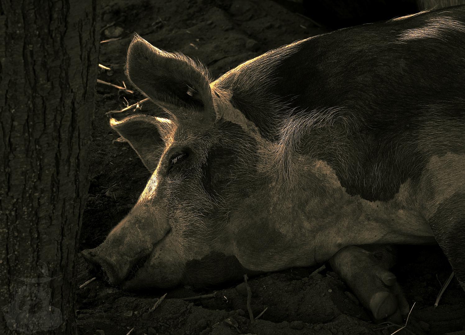Ein Steif Schweinchen mit Knopf im Ohr