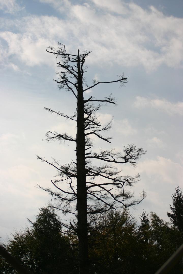 Ein sterbender Baum ?